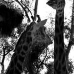"""""""Giraffe"""" by RCaleca"""