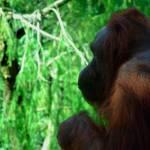 """""""Orangutan"""" by RCaleca"""