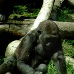 """Gorilla"" by RCaleca"