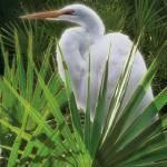 """""""Palmetto Egret"""" by SteveHunziker"""