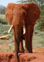 Promising Young Tusker