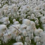 """2008-08-03 Arctic Cotton"" by PicsbyJanet"