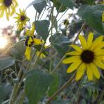 """sunflowers and sunlight"" by maskit5256"