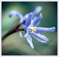 little blue wildflower