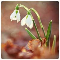 good morning snowdrops