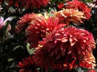 Dahlias in Shade of Orange