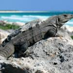 """Black Iguana"" by KenThomas"