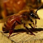 """""""Honeybee"""" by KenThomas"""