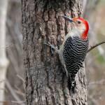 """""""Red-bellied Woodpecker"""" by KenThomas"""
