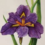 """Louisiana Iris"" by MosaicartbyLA"