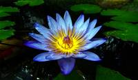 Water Lilly Two