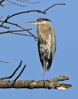 LoneHeron_3_large