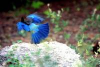 Stellar Jay in flight