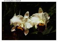 Orchid0037