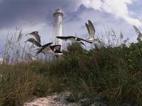 Lighthouse Terns-H