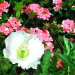 """White Poppy w verbena"" by Kirby"