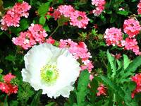 White Poppy w verbena