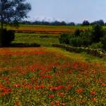 """""""Poppy field and Atlas mountains in Morroco"""" by peperuda"""