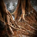 """Roots of the Suwannee"" by ChrisCrowley"