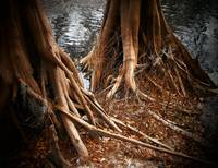 Roots of the Suwannee