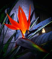 Bird of Paradise on Granite