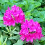 """Flowers Fuschia"" by dchristi"