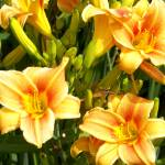 """Lily Yellow Orange"" by dchristi"