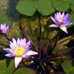 """Water Lily"" by bnitz"