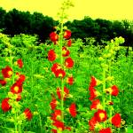 """Roadside Hollyhocks - Fantasy remix"" by protophotogsl"