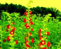 Roadside Hollyhocks - Fantasy remix