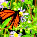 """Monarch Butterfly and Wild Asters"" by protophotogsl"
