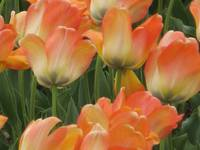 Orange Tulips (Ottawa Tulip Festival)