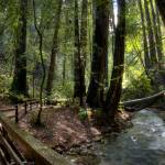 """Muir Woods Bridged Trail"" by colbertimages"