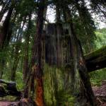 """Muir Woods Stump"" by colbertimages"