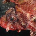 """""""Scorpinon Fish"""" by Fish_Photo"""