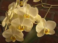 orchid yellow group