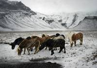 Horses in a Snow Storm