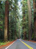 Avenue of the Giants - World's Tallest Trees
