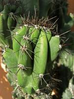Cactus Close-up 1