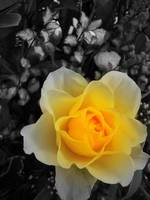 Yellow rose (Edited)