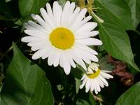 simple beauty-daisies