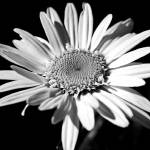 """""""White Daisy #3"""" by psmphotography"""