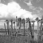 """""""Florida Wetlands B&W"""" by psmphotography"""