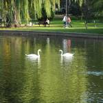 """Boston Public Garden Swan Lake"" by sal_16066"