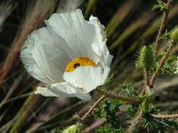 Prickly Poppy 23May07