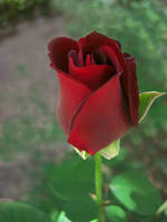 Crimson Red Rose