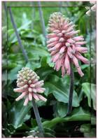 Forest Lily (Veltheimia)