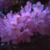 Mom's Rhododendron Art Prints & Posters by Laurie Mix