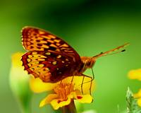 Butterfly-on-Marigold-5