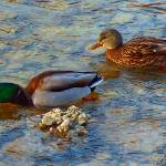 """Ducks at Bowness 5 - Calgary, Alberta"" by oilboy"